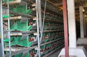 Сбор яйца в производственном цехе